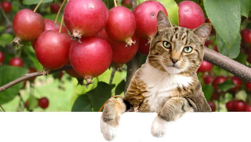 Motan si Crab apple