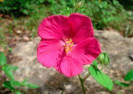 Trandafir salbatic